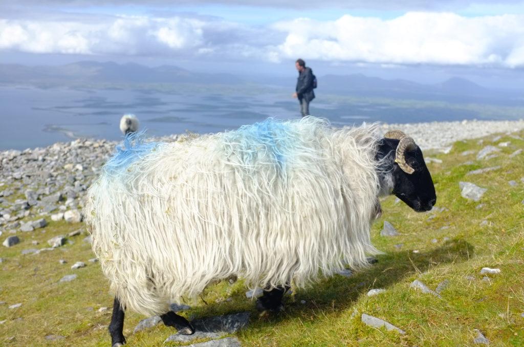 Sheep-on-CroaghPatrick
